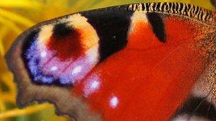 Peacock wing (c) Helen M Bushe