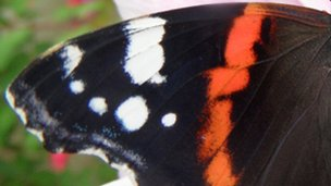 Red admiral wing (c) Andrew Cooper