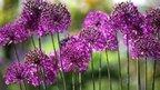 Alliums in the Double Walled Garden