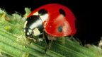 Seven-spotted ladybird eating an aphid.