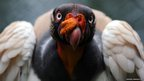 A King Vulture