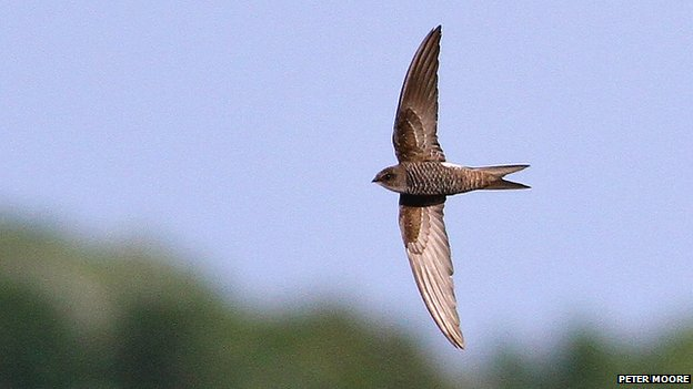 Pacific swift at Trimley Marshes