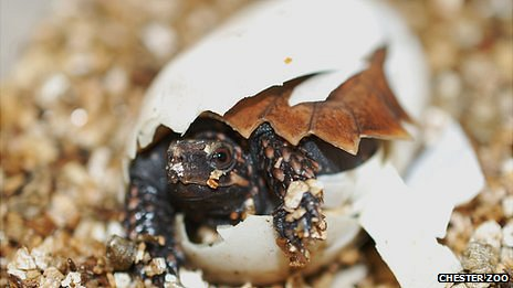 The baby spiny turtle