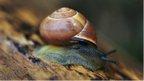 Brown lipped snail (Cepaea nemoralis)