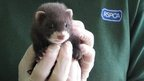 Baby polecat rescued by RSPCA