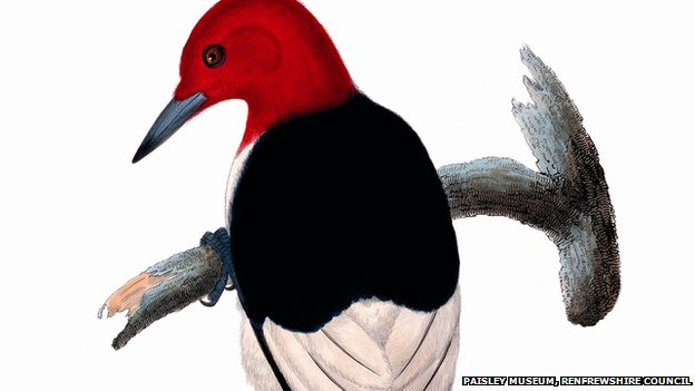 Red headed woodpecker courtesy of Paisley Museum, Renfrewshire council