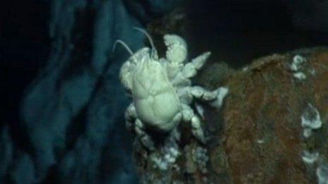 Hoff crab
