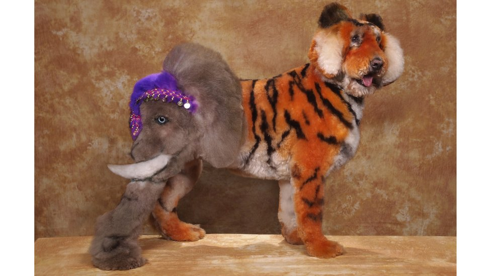 Creative grooming competition shows crazy dog designsDog That Looks Like A Tiger