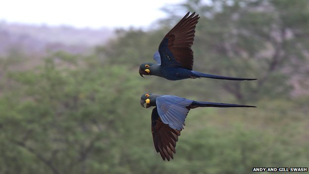 A pair of Lear's macaw