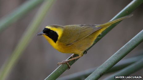 Beldings yellowthroat