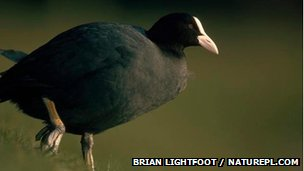 A coot