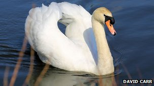 Swan in Wingerworth
