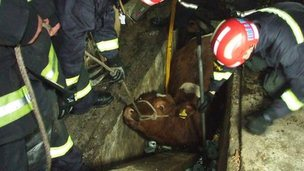 Cow stuck in garage. Pic: Devon and Somerset Fire Service
