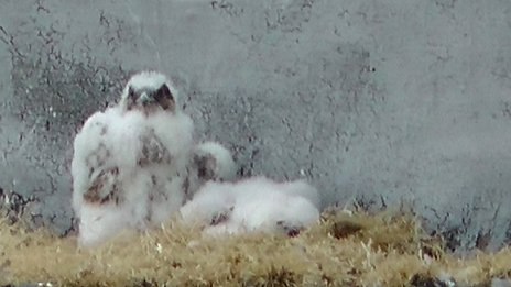 Peregrine falcon chicks on Essex nuclear reactor