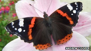 Red admiral (c) Andrew Cooper