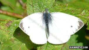 Small white (c) Hawkeye108