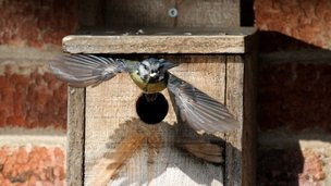 Blue tit flying out of box