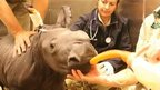Baby white rhino being fed