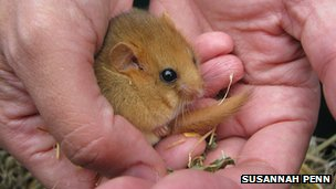 A dormouse being held