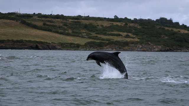 A bottlenose dolphin