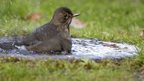 Blackbird bathing in a garden