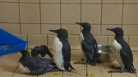 Rescued guillemots