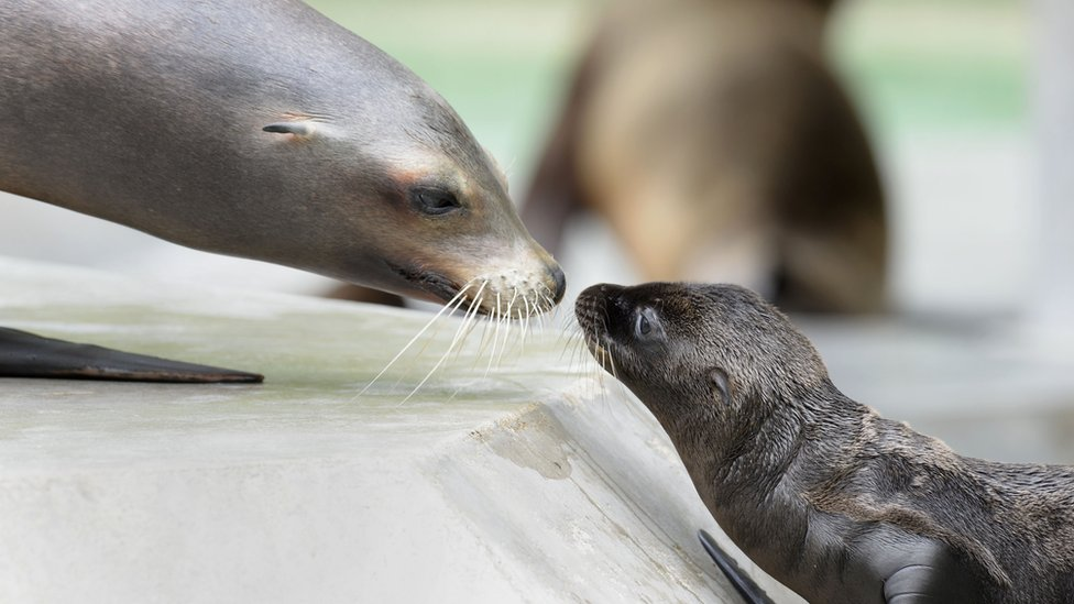 A young sea lion plays with his mother at a zoo in Munich, Germany