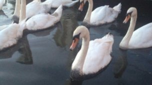 Swan in the oil spill on the River Thames in Windsor