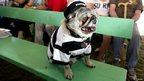 Grovie, a pug
