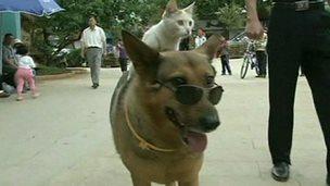 Cat gets piggyback ride from dog best friend