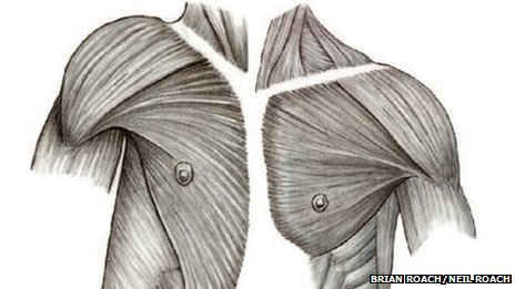 Diagram of human shoulder anatomy (left) compared to a chimpanzee (right)