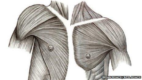 Diagrama de la anatomía del hombro humano (izquierda) comparado con un chimpancé (derecha)