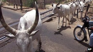 Cattle in northern Nigeria - archive shot