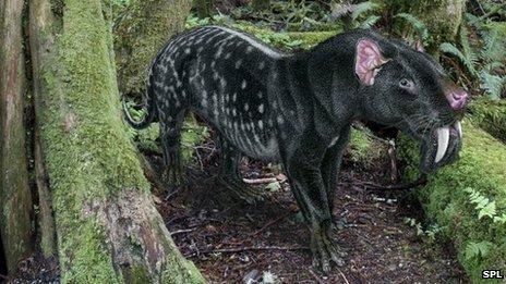 Thylacosmilus atrox mammal, artwork