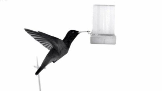 Slow motion hummingbird footage (c)  Masateru Maeda and Prof Hiroto Tanaka