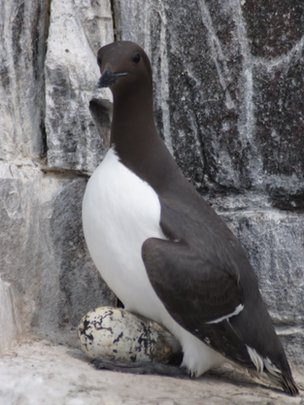 A guillemot sitting on its egg