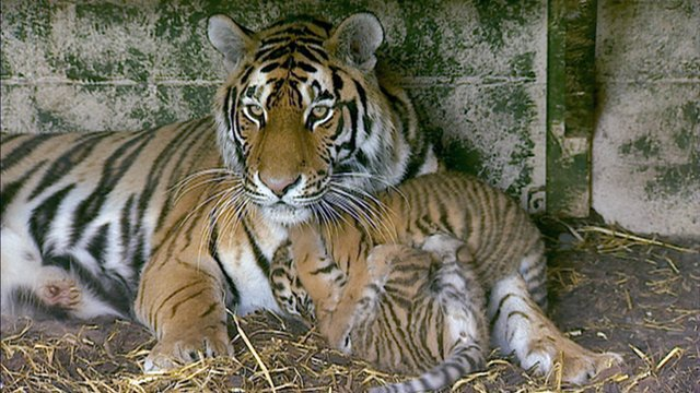 Tigress and her cubs