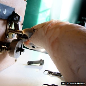 'Muppet' the cockatoo solving a bolt-type lock