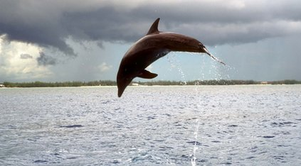 Dolphin in mid-dive