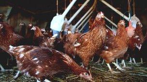 Chickens on a Surrey farm