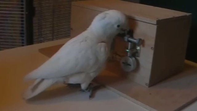 Cockatoo solving lock puzzle to reach a nut