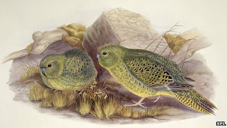 Australian night parrots  - CREDIT: NATURAL HISTORY MUSEUM, LONDON, SCIENCE PHOTO LIBRARY