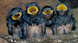 Swallows (stock image)