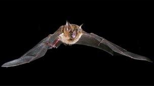 Carollia perspicillata bat