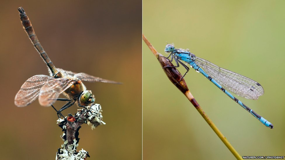 Downy emerald dragonfly and common blue damselfly