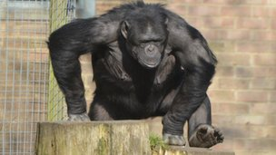 Phil the Whipsnade chimp