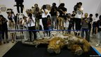 Members of media film 39,000-year-old female Woolly mammoth