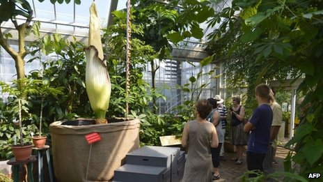 People observe the Titan Arum at the Jardin de Meise (9 July 2013)