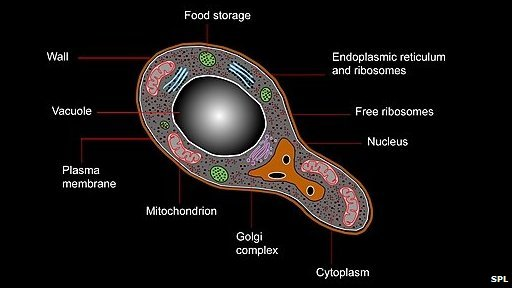 Illustrated yeast cell artwork