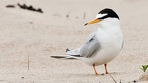 Little tern at Crimdon Dene